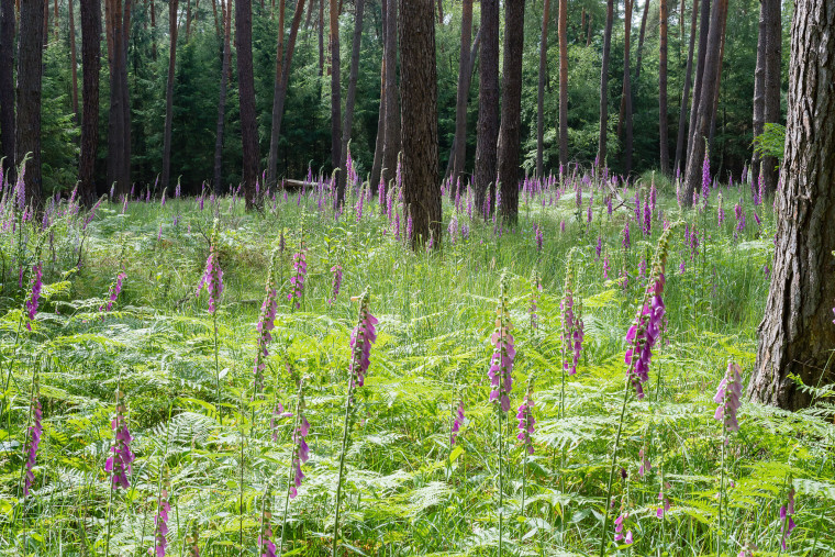 Digitalis Purpurea By Norbert Nagel (Own work) [CC BY-SA 3.0 (http://creativecommons.org/licenses/by-sa/3.0)], via Wikimedia Commons